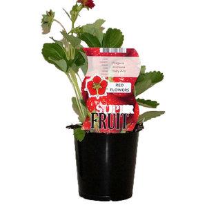 Aardbeienplant - Rode bloemen
