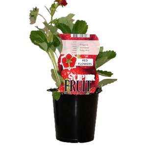 Aardbeienplant - Ruby Ann