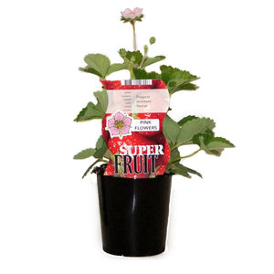 Aardbeienplant - Roman