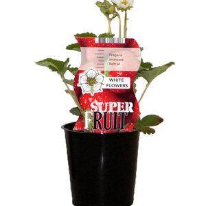 Aardbeienplant - Beltran