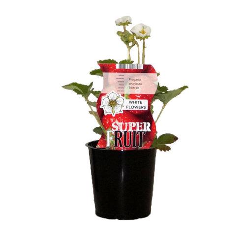 Aardbeienplant - Witte bloemen