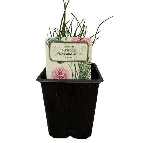 Bieslook plant