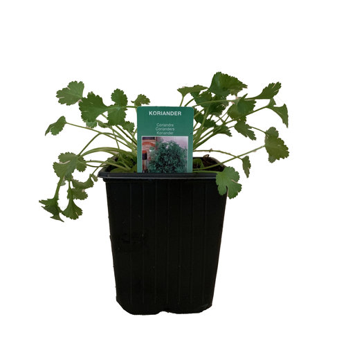 Koriander plant