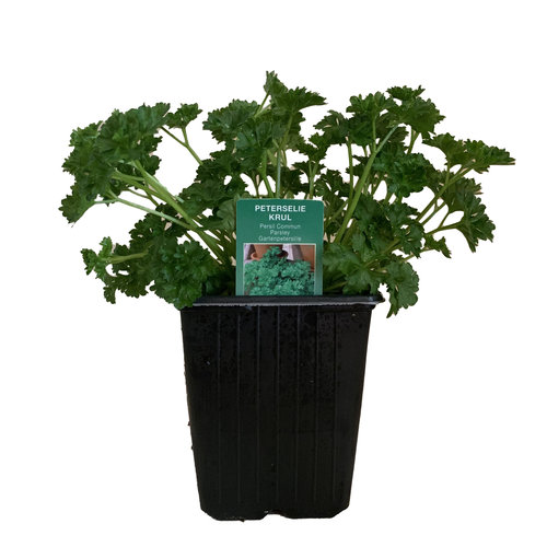 Peterselie plant