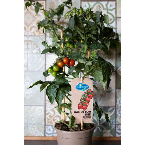 Pick & Joy cherry tomatenplant