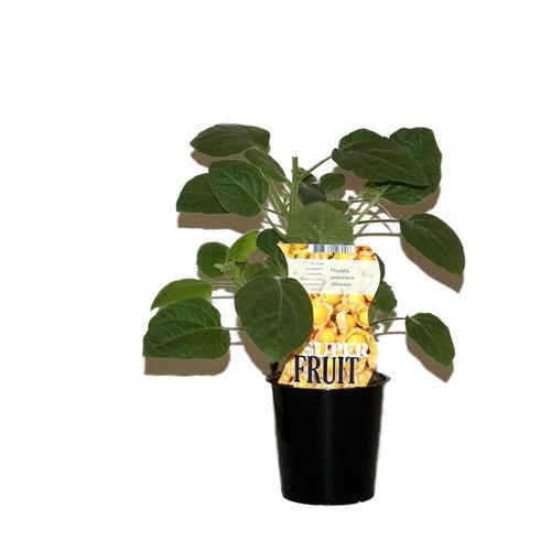 Goudbessenplant