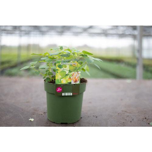 Goudbessenplant XL