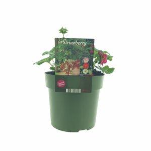 Aardbeienplant XL