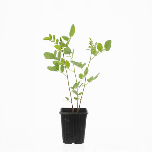 Zoethout plant