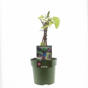 Blauwe druivenplant XL