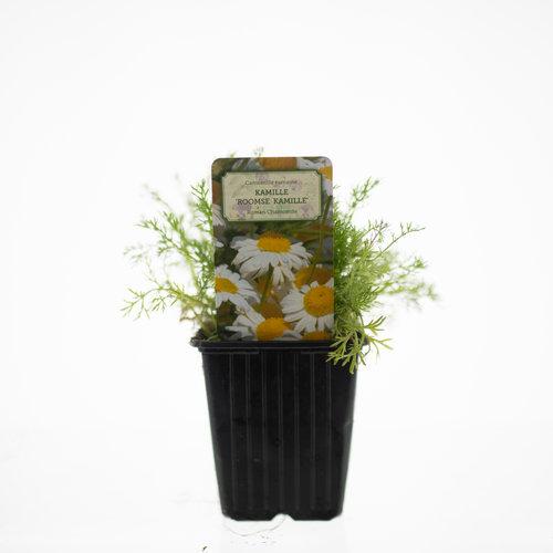 Kamille plant