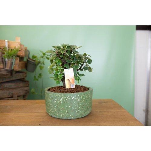 Bonsai kweekpeer