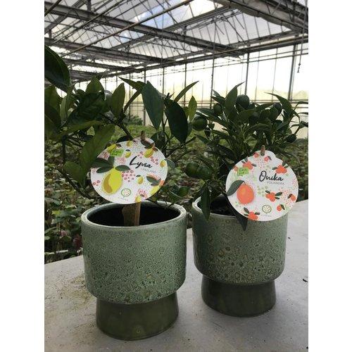 Citrina Citroenplant - Lyvia