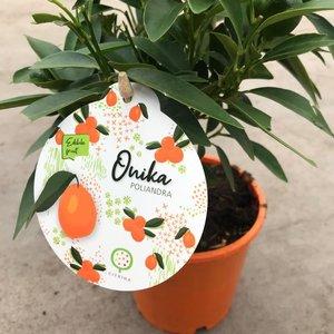 Citrina Sinaasappelplant - Onika