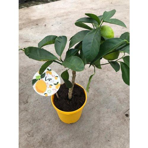 Citrina Citroenplant XL - Lisa