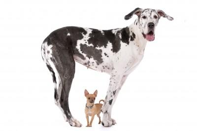 Leeftijd grote hond vs kleine hond