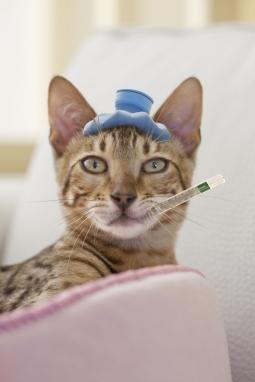 kattenziekte feline panleucopenie parvorus desinfectie Virkon S katten