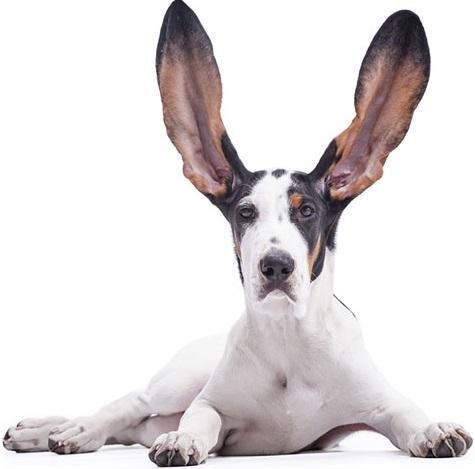 feiten over oren hond