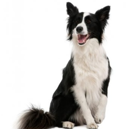 De slimste hondenrassen