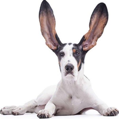 Die Ohren eines Hundes