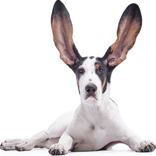 The ears of a dog