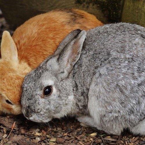 Hygiëne RHD/VHS en myxomatose bij konijnen