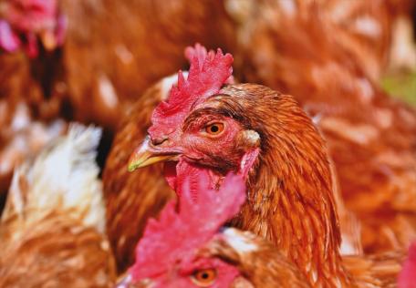 LPAI H3N1 vogelgriep virkon