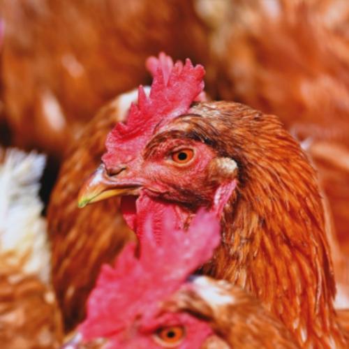 Verspreiding vogelgriepvirus (LPAI H3N1)