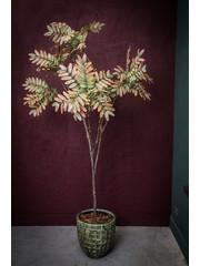 PTMD Tree Groen purple johannesbroodboom