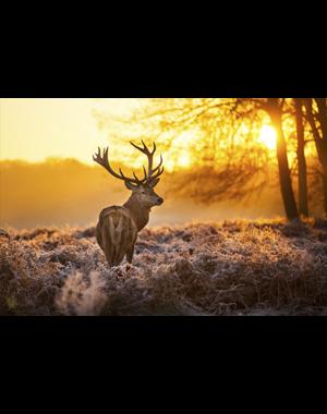 MondiArt Alu Art |  Red Deer in Morning Sun