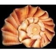 Artibalta Diamond painting Seashell AZ-1055