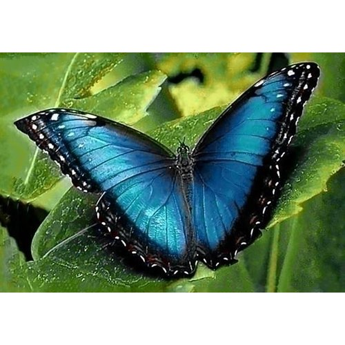 Wizardi Wizardi Diamond Painting Blue Morpho WD055
