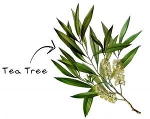Geen tea tree in onze producten - een bewuste keuze!