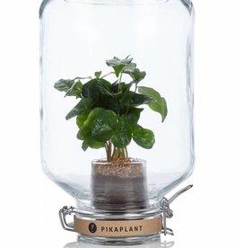 PIKAPLANT - COFFEA ARABICA