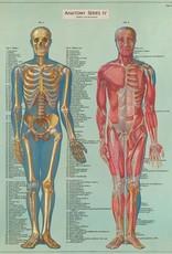 VINTAGE POSTER - Anatomy Series IV (50x70cm)