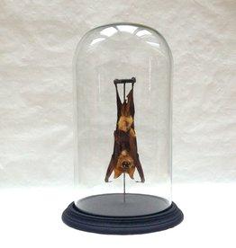 Hangende Vleermuis