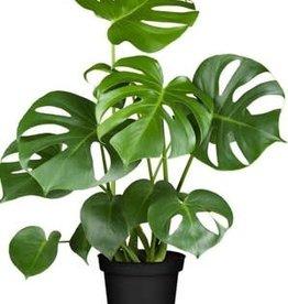 Animaux Spéciaux Botanical Wonders MONSTERA DELICIOSA (Gatenplant)