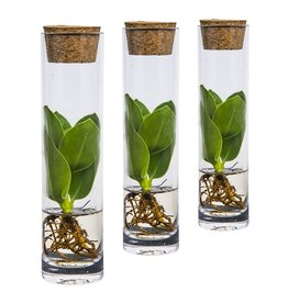 Clusia Plant in a Test Tube