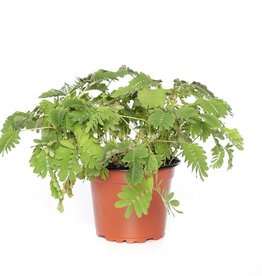 MIMOSA PUDICA -Sensitive