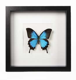 Animaux Spéciaux MODERN FRAME - Papilio Ulysses