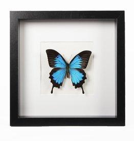Animaux Spéciaux MODERN KADER - Papilio Ulysses