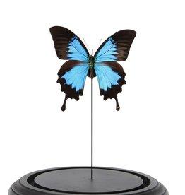 CLOCHE EN VERRE - Papilio Ulysses