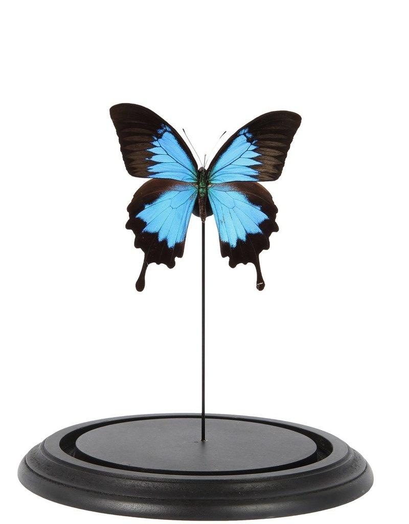 GLASS BELL JAR - Papilio Ulysses