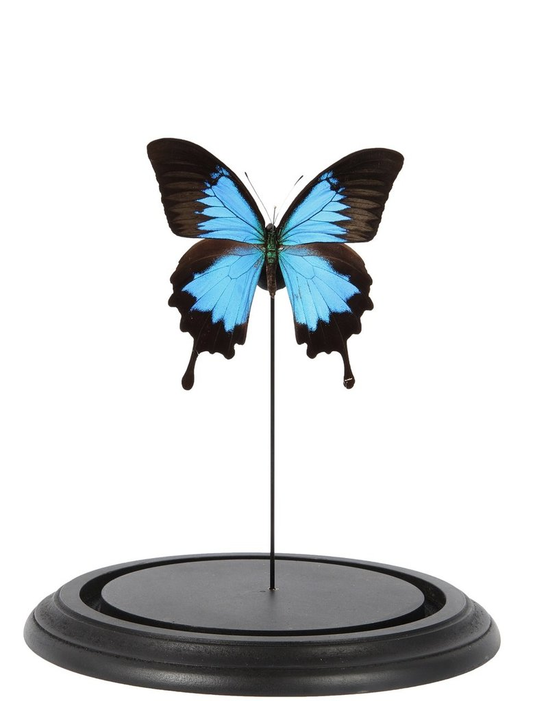 GLASS DOME - Papilio Ulysses
