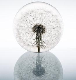 PAPERWEIGHT - Dandelion (xl)