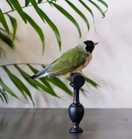 Animaux Spéciaux Gouldian Finch - (Erythrura gouldiae)