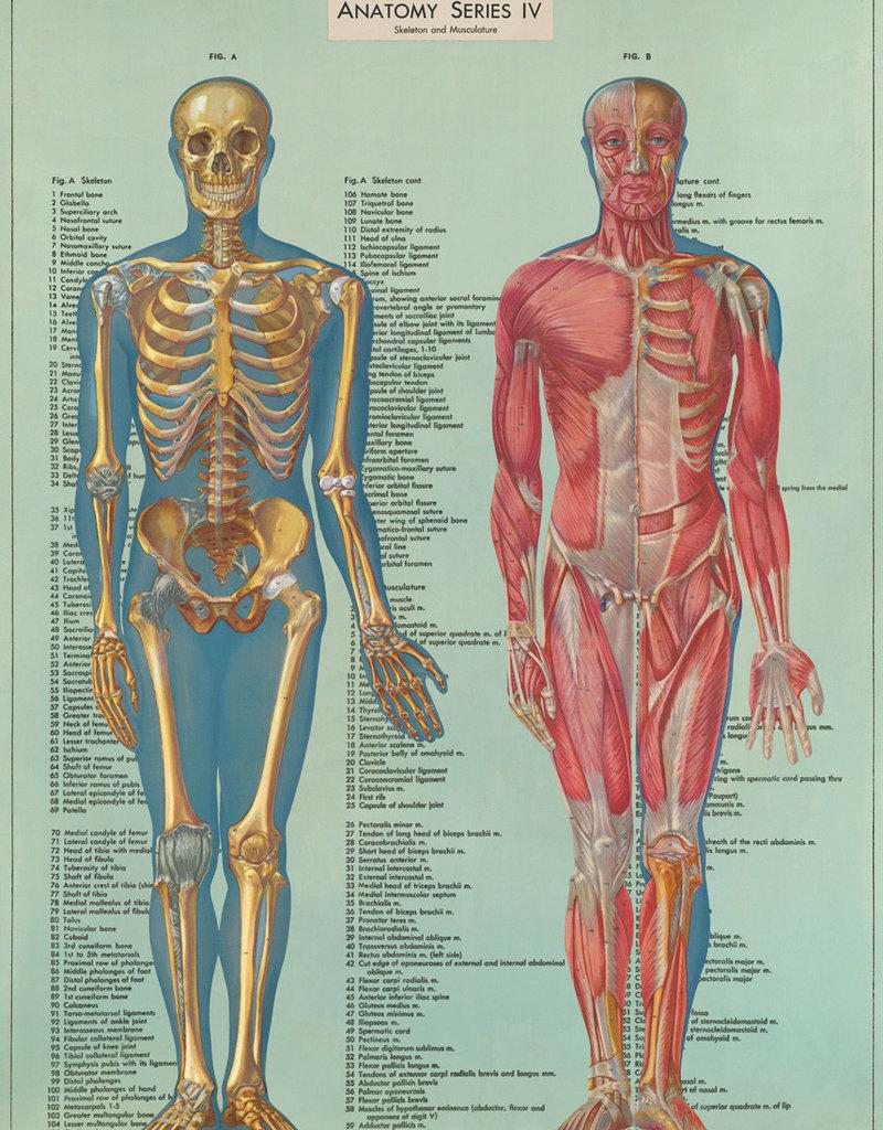 AFFICHE VINTAGE - Série Anatomie IV (50x70cm)