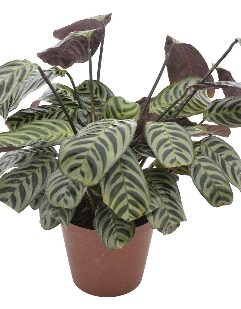 Animaux Spéciaux Botanical Wonders Calathea Amabilis