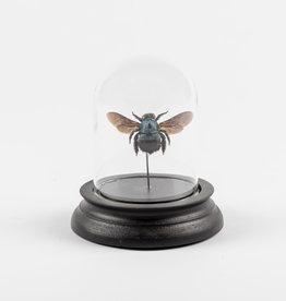 Animaux Spéciaux GLASS BELL JAR - Blue Bee