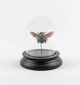 Animaux Spéciaux SMALL GLASS DOME - Blue Bee